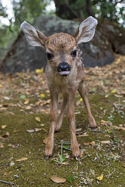 Mule Deer (Odocoileus hemionus) one day old orphaned fawn learning how to walk, Kindred Spirits Fawn Rescue, Loomis, California