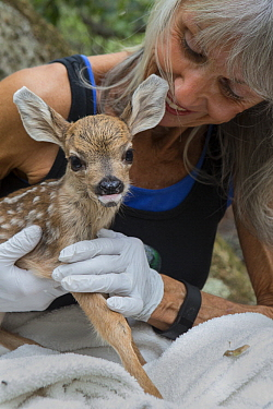 Mule Deer (Odocoileus hemionus) conservationist, Diane Nicholas, holding one day old orphaned fawn, Kindred Spirits Fawn Rescue, Loomis, California