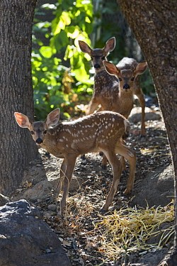 Mule Deer (Odocoileus hemionus) six week old orphaned fawns, Kindred Spirits Fawn Rescue, Loomis, California