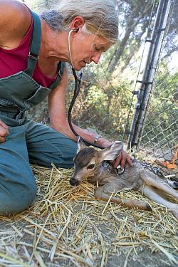 Mule Deer (Odocoileus hemionus) veterinarian examining three week old orphaned fawn, Kindred Spirits Fawn Rescue, Loomis, California