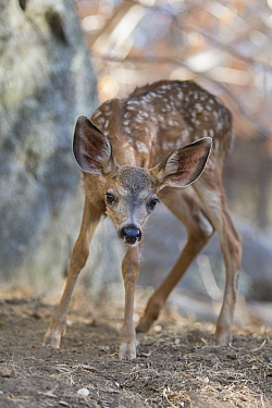 Mule Deer (Odocoileus hemionus) two month old orphaned fawn, Kindred Spirits Fawn Rescue, Loomis, California