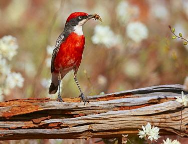 Crimson Chat (Epthianura tricolor) male with insect prey, Cue, Western Australia, Australia