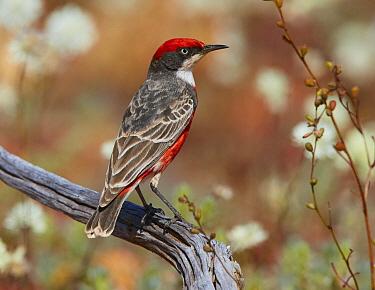 Crimson Chat (Epthianura tricolor) male, Cue, Western Australia, Australia