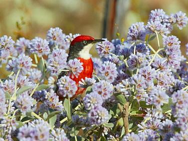 Crimson Chat (Epthianura tricolor) male in flowers, Cue, Western Australia, Australia