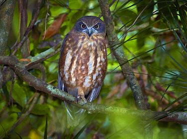 Southern Boobook (Ninox boobook), Malanda, Queensland, Australia