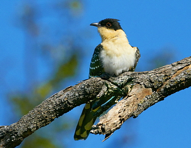 Great Spotted Cuckoo (Clamator glandarius), Chobe National Park, Botswana