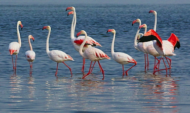 European Flamingo (Phoenicopterus roseus) group wading in lake, Walvis Bay, Namibia