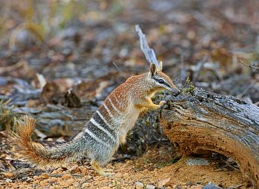 Numbat (Myrmecobius fasciatus) female at burrow, Brookton, Western Australia, Australia