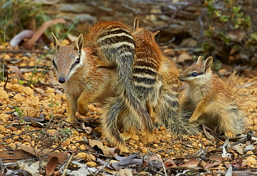 Numbat (Myrmecobius fasciatus) mother carrying young, Brookton, Western Australia, Australia