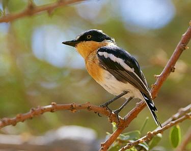 Pririt Batis (Batis pririt) female, Spitzkoppe, Damaraland, Namibia
