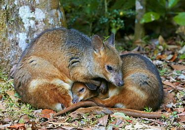 Red-legged Pademelon (Thylogale stigmatica) juvenile and mother snuggling, Malanda, Queensland, Australia