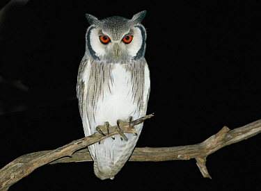 Southern White-faced Owl (Ptilopsis granti) at night, Nxai Pan National Park, Namibia