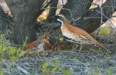 Chestnut-breasted Quail-thrush (Cinclosoma castaneothorax) father with begging chicks in nest, Kirkalocka Station, Mount Magnet, Western Australia, Australia
