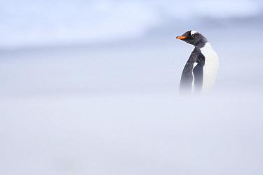 Gentoo Penguin (Pygoscelis papua) in storm, Sealion Island, Falkland Islands