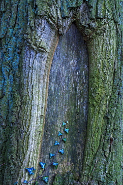 English Ivy (Hedera helix) on tree trunk, Netherlands