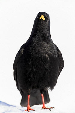 Yellow-billed Chough (Pyrrhocorax graculus), Bernese Alps, Switzerland