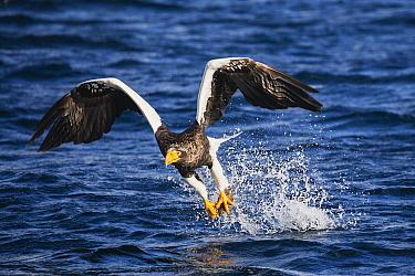 Steller's Sea Eagle (Haliaeetus pelagicus) hunting fish, Hokkaido, Japan