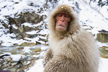 Japanese Macaque (Macaca fuscata) young in winter, Jigokudani, Nagano, Japan
