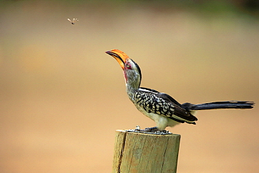 Southern Yellow-billed Hornbill (Tockus leucomelas) hunting flying insect, Kruger National Park, South Africa