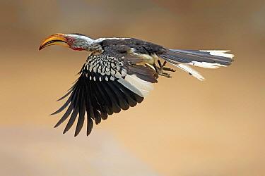 Southern Yellow-billed Hornbill (Tockus leucomelas) flying, Kruger National Park, South Africa