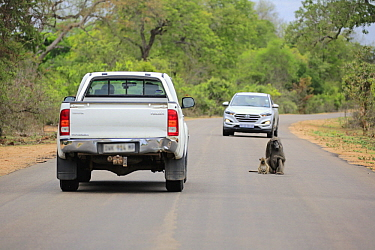 Chacma Baboon (Papio ursinus) mother and young on road, Kruger National Park, South Africa