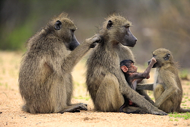Chacma Baboon (Papio ursinus) female grooming mother with young and juvenile, Kruger National Park, South Africa