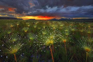 Pipewort (Paepalanthus sp) flowers at sunset, Chapada dos Veadeiros National Park, Brazil