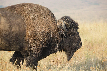 American Bison (Bison bison) with grass on horns, National Bison Range, Montana