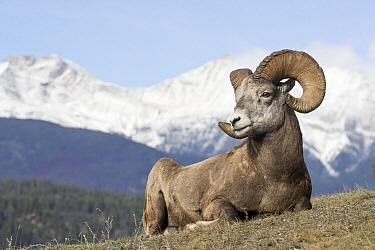 Bighorn Sheep (Ovis canadensis) ram, western Canada