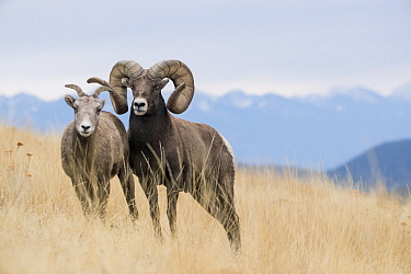 Bighorn Sheep (Ovis canadensis) ewe and ram, western Montana