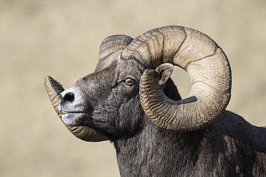 Bighorn Sheep (Ovis canadensis) ram, western Montana