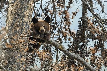 Black Bear (Ursus americanus) cub in tree, western Canada