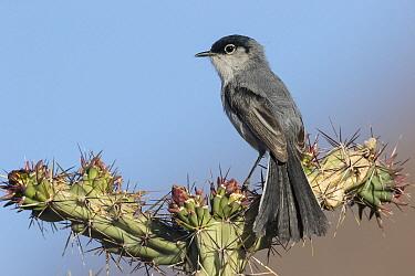 Black-tailed Gnatcatcher (Polioptila melanura), southwestern Arizona