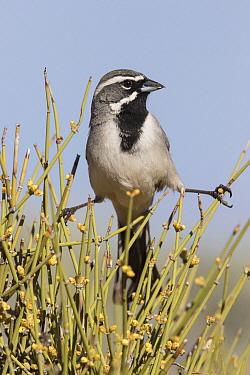 Black-throated Sparrow (Amphispiza bilineata), southwest Arizona
