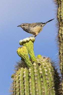 Cactus Wren (Campylorhynchus brunneicapillus) perching on cactus flower, southwestern Arizona