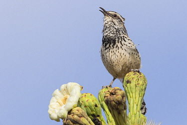 Cactus Wren (Campylorhynchus brunneicapillus) calling, southwestern Arizona