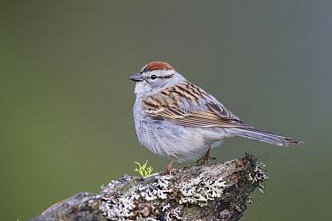Chipping Sparrow (Spizella passerina), Troy, Montana