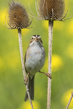 Clay-colored Sparrow (Spizella pallida) balancing between thistles, Mission Valley, Montana