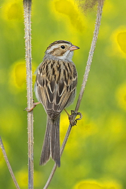 Clay-colored Sparrow (Spizella pallida), Mission Valley, Montana