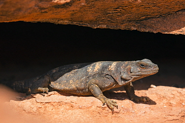 Common Chuckwalla (Sauromalus ater) staying cool in crevice, southern Nevada