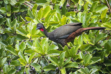 Crested Guan (Penelope purpurascens), Costa Rica