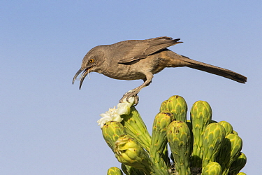 Curve-billed Thrasher (Toxostoma curvirostre) calling, southern Arizona