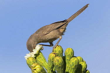 Curve-billed Thrasher (Toxostoma curvirostre) feeding on cactus flower nectar, southern Arizona. Sequence 1 of 2