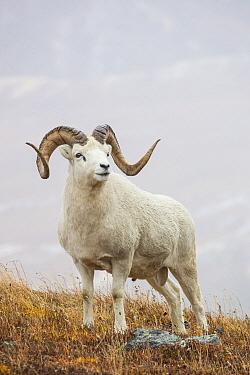 Dall's Sheep (Ovis dalli) ram, Denali National Park, Alaska