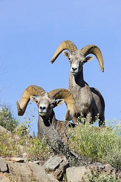 Desert Bighorn Sheep (Ovis canadensis nelsoni) rams, southern Nevada