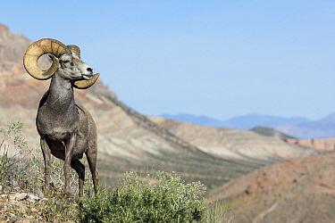 Desert Bighorn Sheep (Ovis canadensis nelsoni) ram in desert, southern Nevada