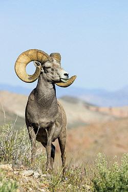Desert Bighorn Sheep (Ovis canadensis nelsoni) ram, southern Nevada