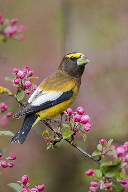 Evening Grosbeak (Coccothraustes vespertina) male in flowering tree, Troy, Montana