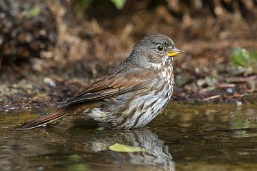Fox Sparrow (Passerella iliaca) bathing in pond, Troy, Montana