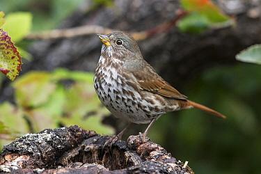 Fox Sparrow (Passerella iliaca), Troy, Montana